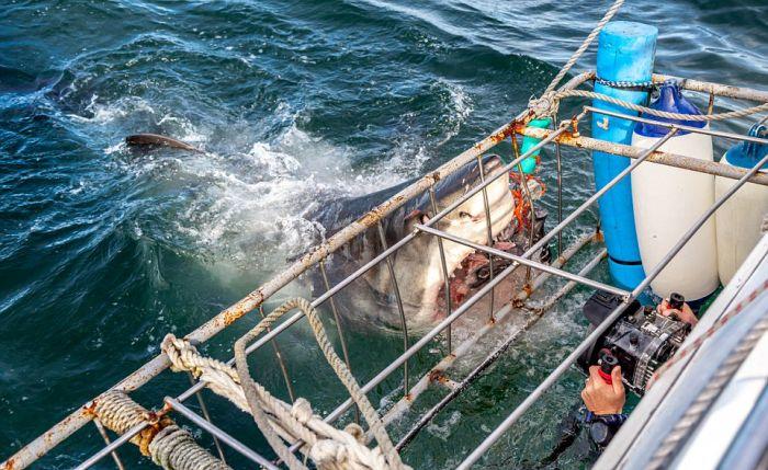 Фото гигантской белой акулы