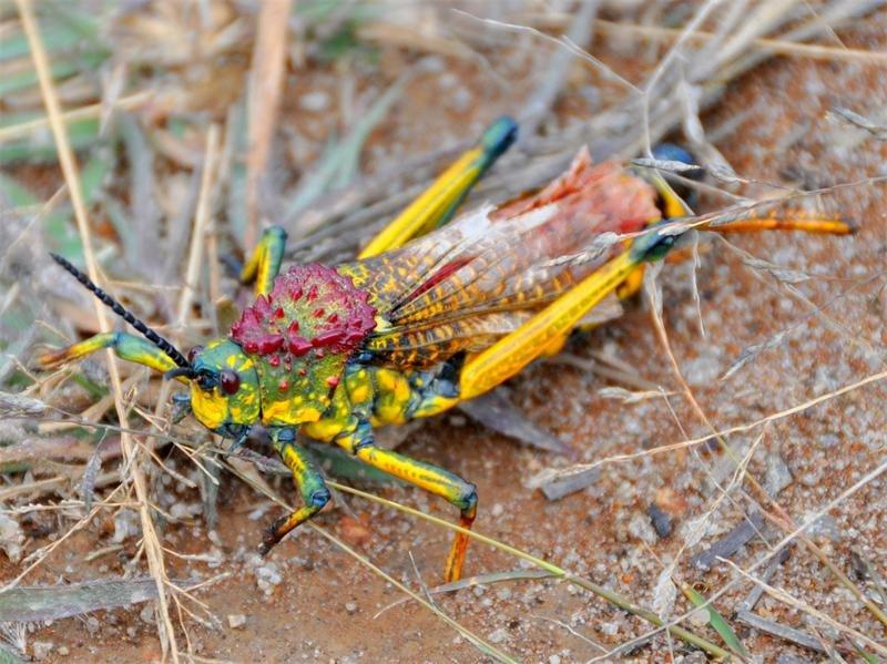 Разноцветная радужная саранча, которую лучше не тревожить