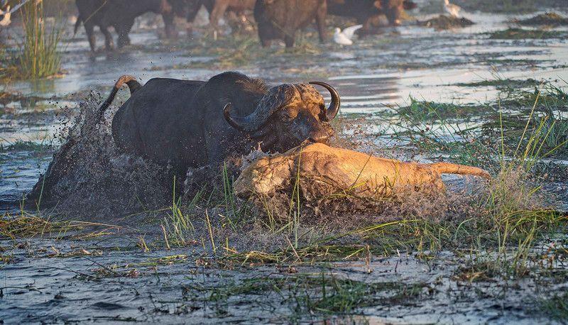Две львицы думали сожрать буйволенка, но тут вписались родители
