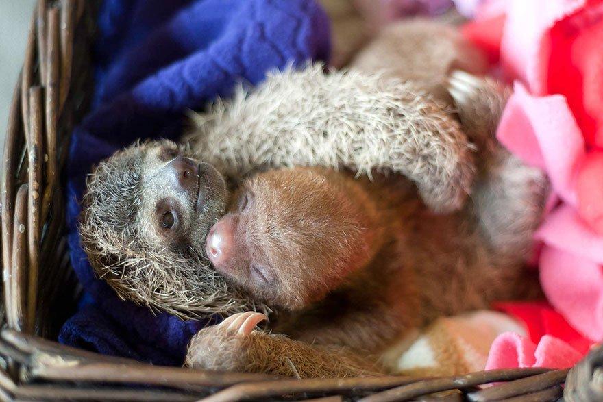 Детёныши ленивцев в Институте ленивцев в Коста-Рике