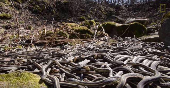 Канадский заповедник Narcisse Snake Dens в брачный сезон змей