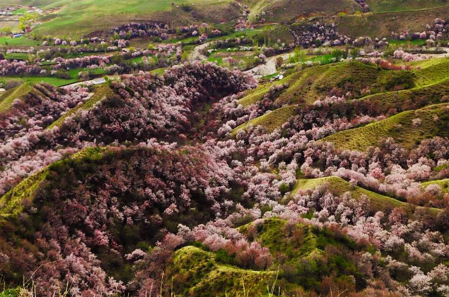 Потрясающее цветение абрикоса в Китае