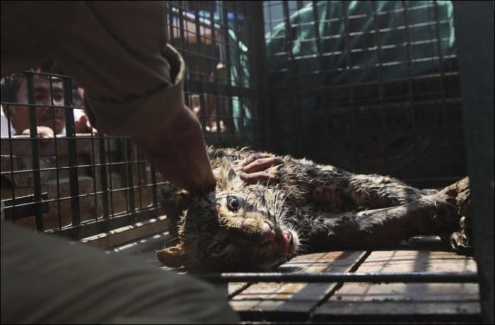 Спасение леопарда, упавшего в колодец