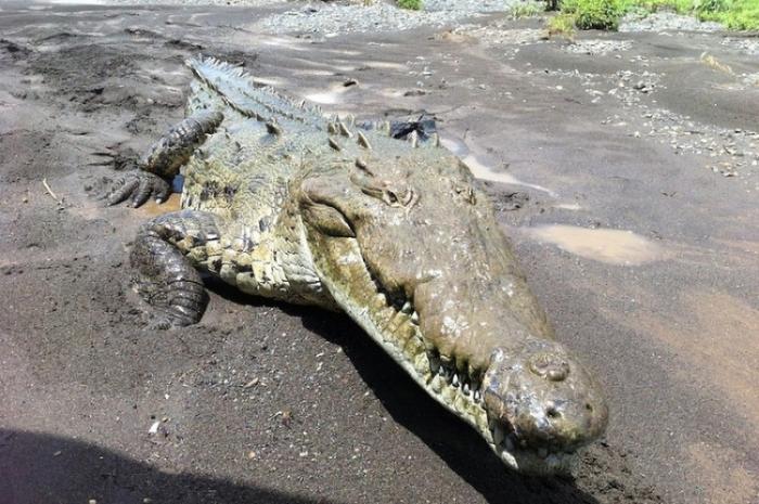 Заклинатель крокодилов из Коста-Рики