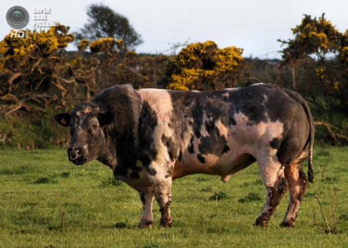 Бельгийские коровы-мутанты