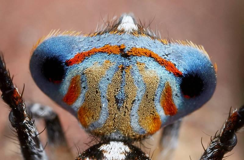 Недавно открытые павлиньи пауки
