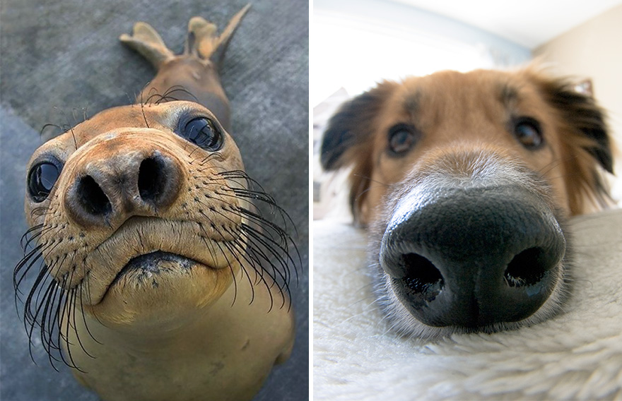 Милые и забавные морские котики очень похожи на собачек