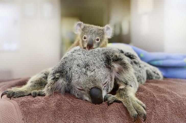 Малыш коала не отошел от матери во время операции
