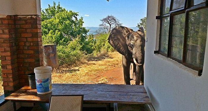 В Зимбабве раненный браконьерами слон обратился за помощью к людям