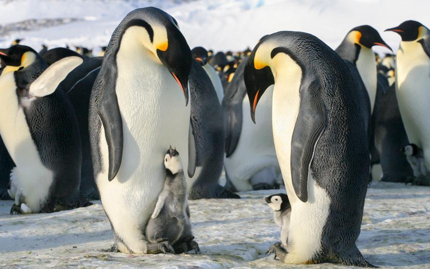 Как самцы императорских пингвинов заботятся о своём потомстве