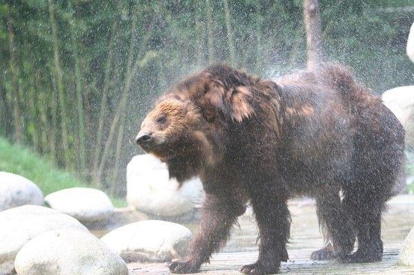 Медведь, спасенный с желчной фермы в Китае