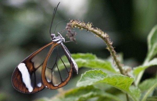 Невероятная бабочка с прозрачными крыльями
