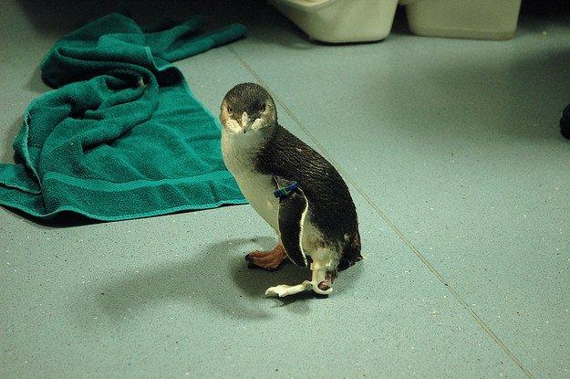 Протез для пингвина, напечатанный на 3D-принтере