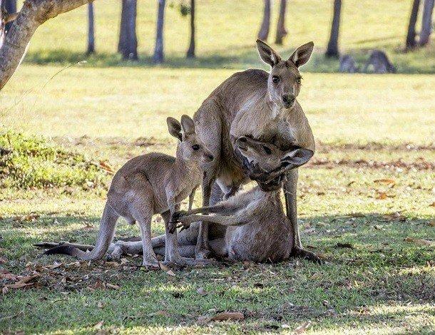 25 удивительных фактов про кенгуру, которые вы могли не знать