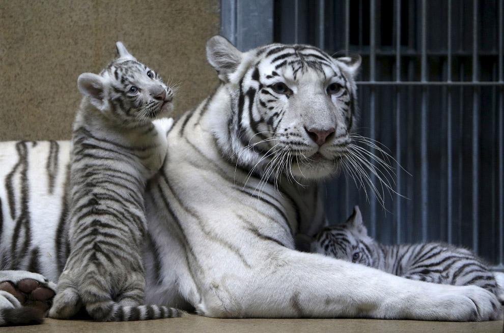 Белый тигр картинки животного