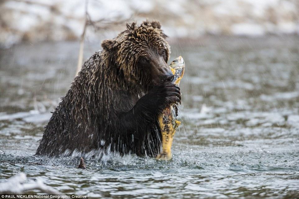 Жизнь медведей в лесах Канады и в Арктике