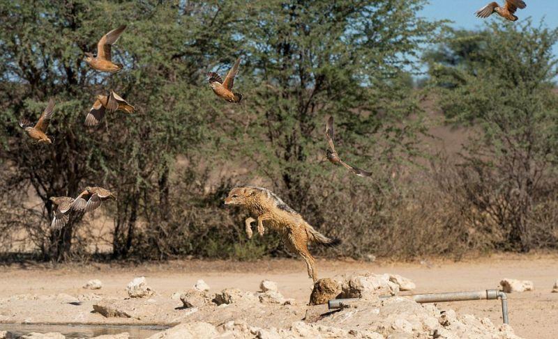 Шакалы устроили засаду, охотясь на рябчиков