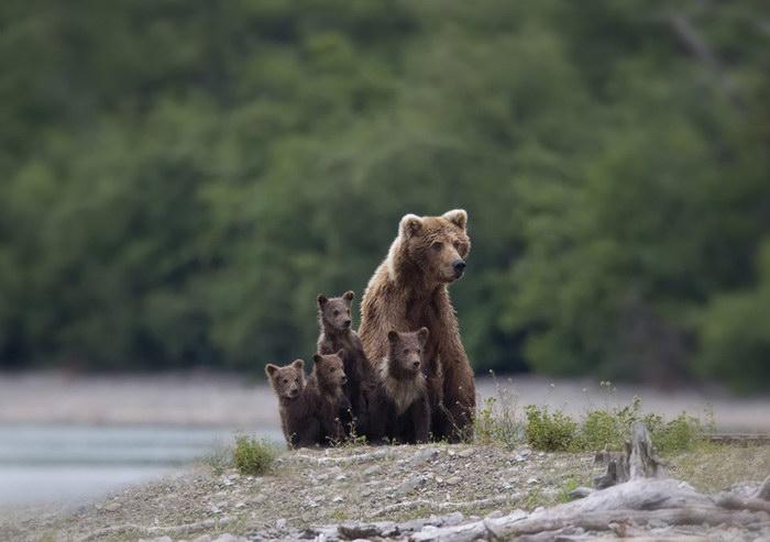 Мамы-медведицы и их детки