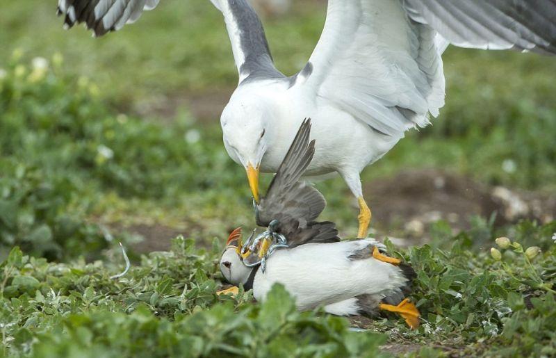 Чайка отобрала еду у более слабой птицы
