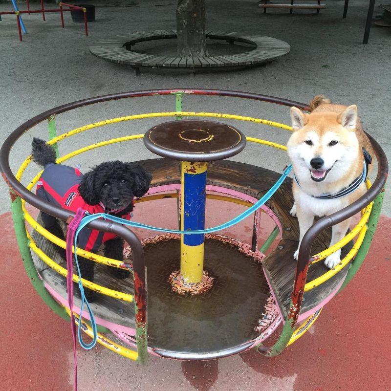 Эта сиба-ину просто обожает проводить время на детских площадках