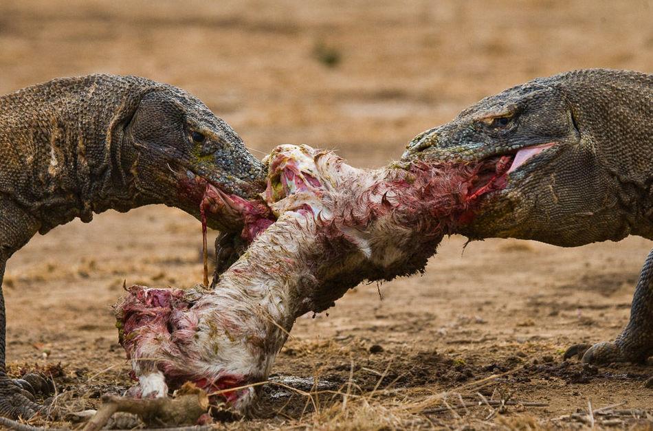 10 снимков, на которых животные едят животных