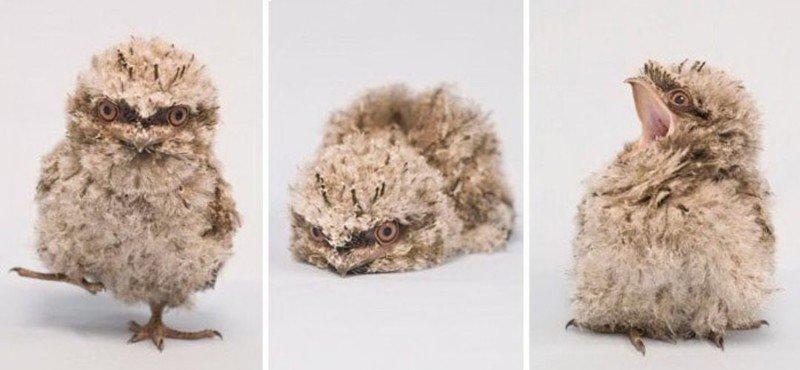 Дымчатый лягушкорот - самая милая птичка на Земле