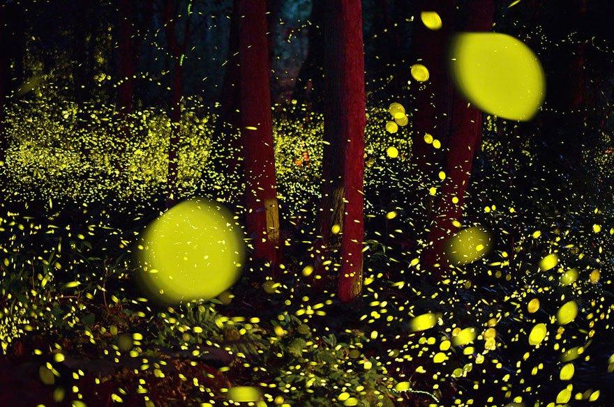 Летние представления светлячков в лесах Японии