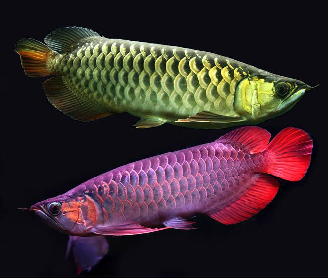 Самая дорогая рыба в мире
