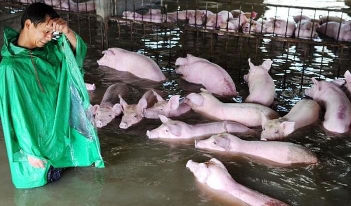 Слезы фермера, который был вынужден оставить умирать 6000 своих свиней из-за наводнения