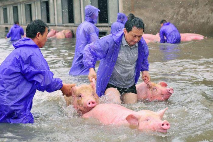 В Китае устроили массовую эвакуацию свиней