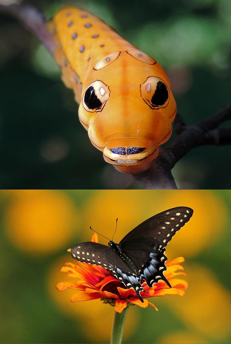 Впечатляющие гусеницы становится бабочками