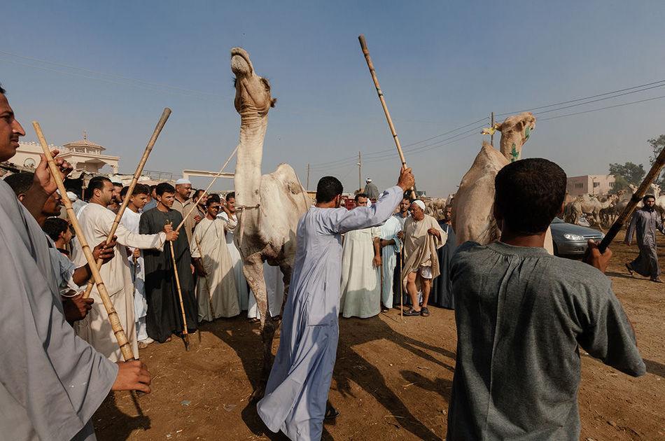 Душераздирающие снимки с самого большого рынка верблюдов в Африке