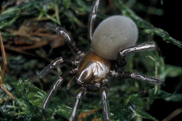 Единственный в мире подводный паук