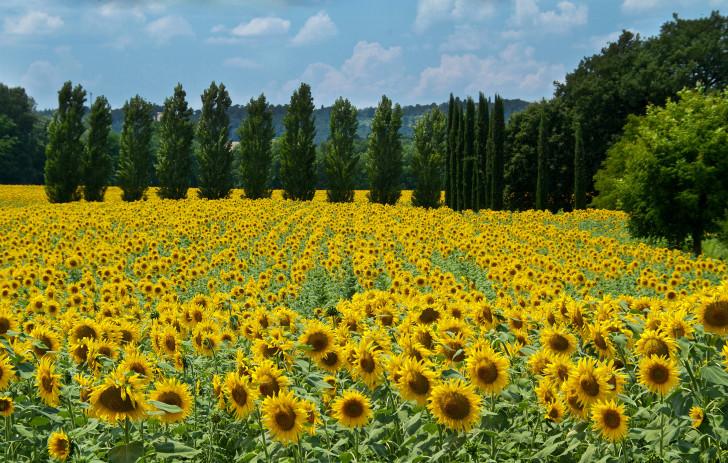 Большое поле подсолнухов в Тоскане