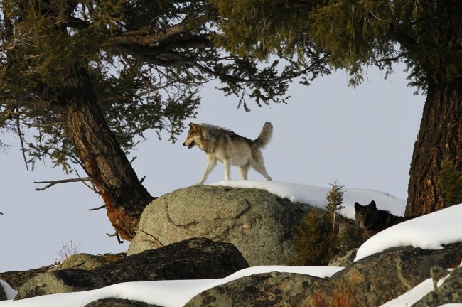 Как волки восстановили экосистему Йеллоустонского парка