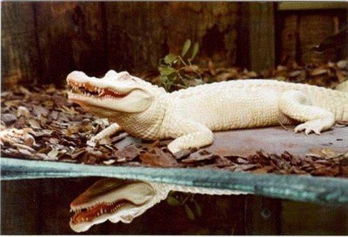 Аллигатор альбинос из парка живой природы Gatorland