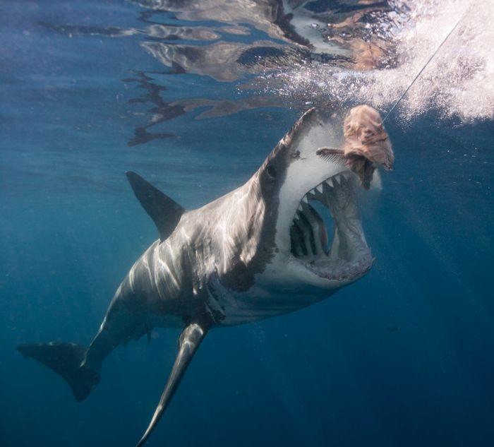 Гигантская белая акула замечена в Карибском море