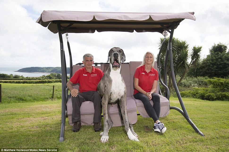 Самая высокая собака в мире: двухметровый дог весом 76 кг