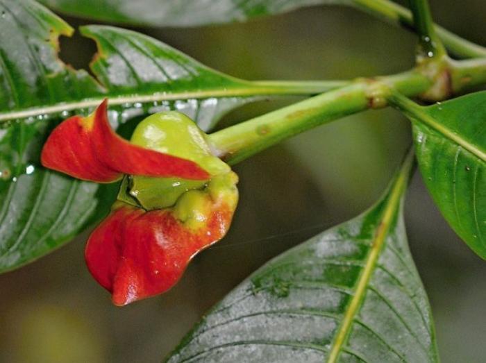 Удивительный цветок напоминающий пухлые женские губы