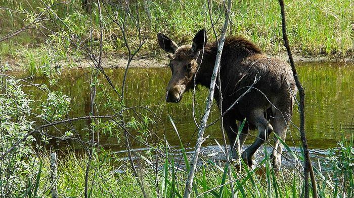 Животные в зоне отчуждения Чернобыльской АЭС