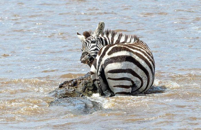 Как зебра спаслась от крокодила
