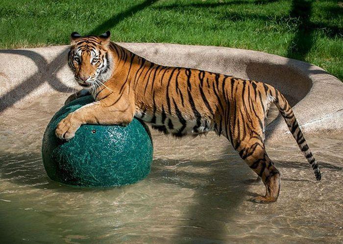 Чудесное преображение молодой тигрицы