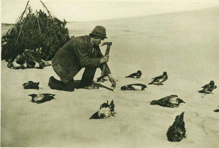 Как ловили ворон на Куршской косе