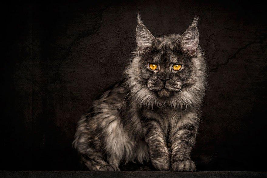 Фотопортреты кошек породы мейн-кун