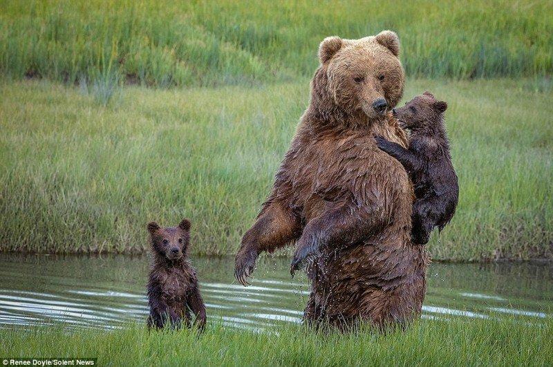 Медведица перенесла через реку боящегося воды детеныша