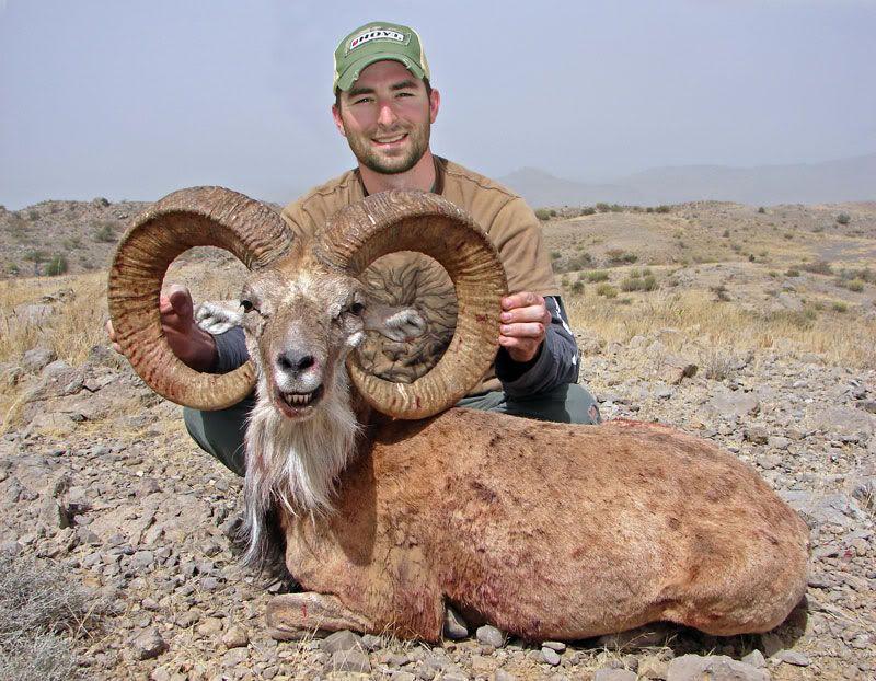 Горного барана убили собственные рога