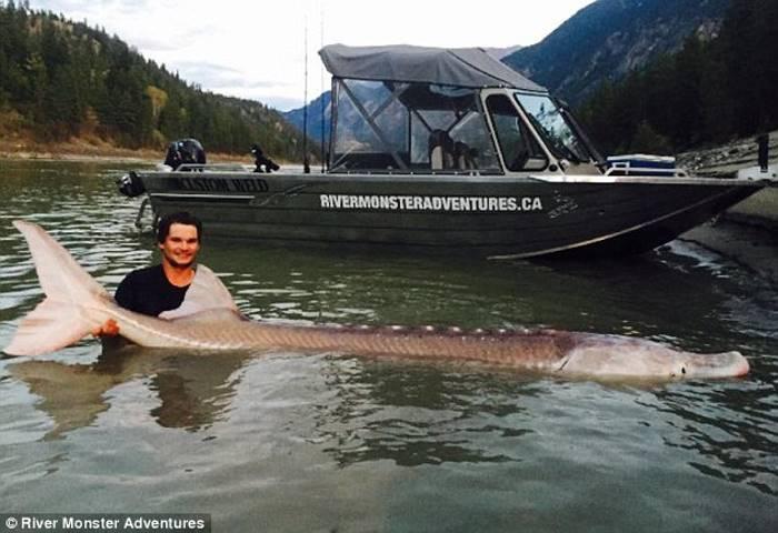 В Канаде поймали легендарного 300-килограммового белого осетра