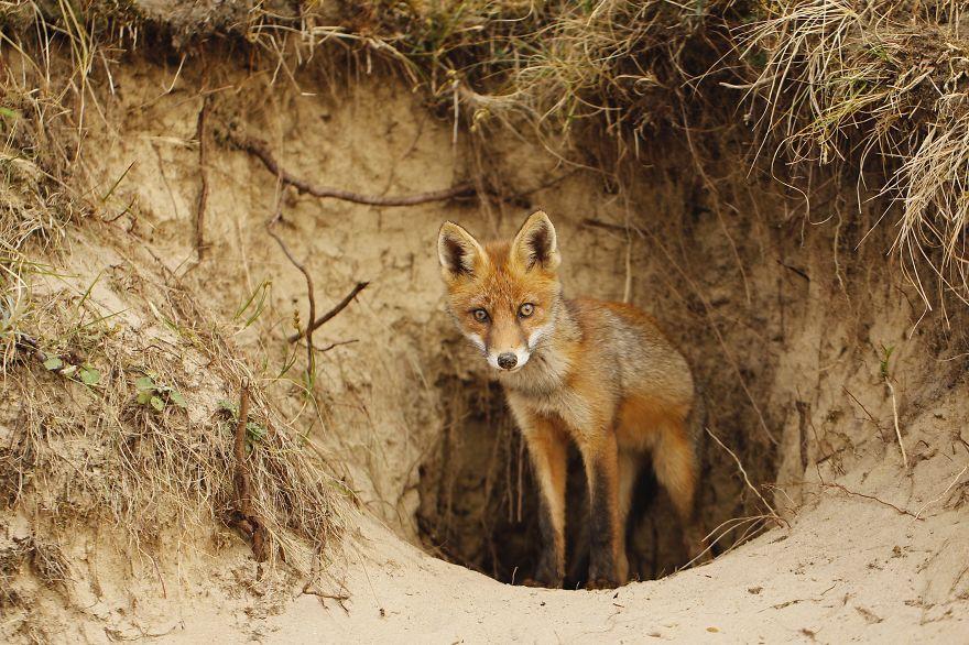 Лисицы, живущие в дюнах на побережье Нидерландов