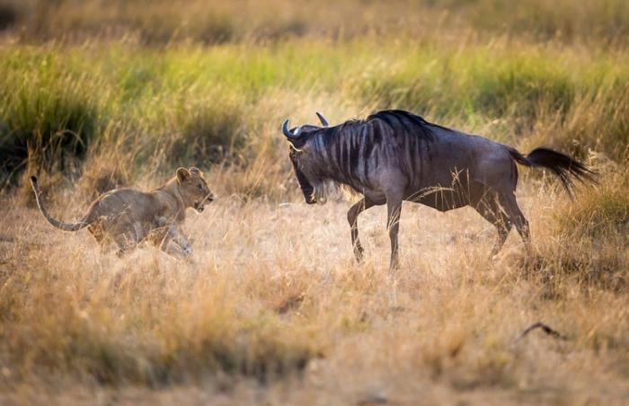 Мама-львица учит своих львят охотиться