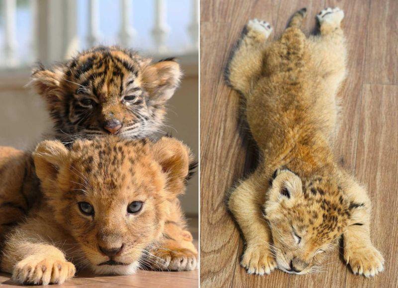 Неразлучные друзья из японского сафари-парка - тигренок и львенок